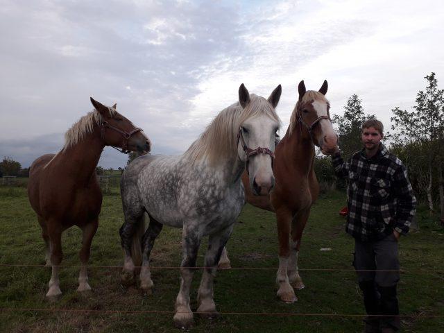 Vlaamse paarden